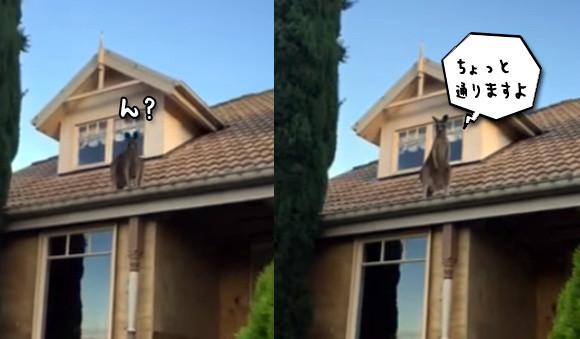 屋根の上にはカンガルー。3メートル級ジャンプでちょっと通りますされちゃった案件(オーストラリア)