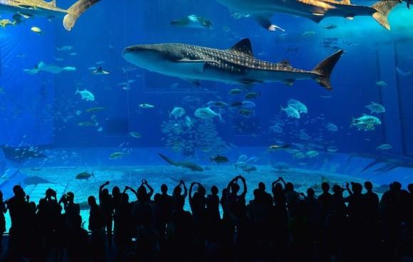 ジンベイザメの寿命は約130歳。世界で最も長生きする海洋生物の一種である