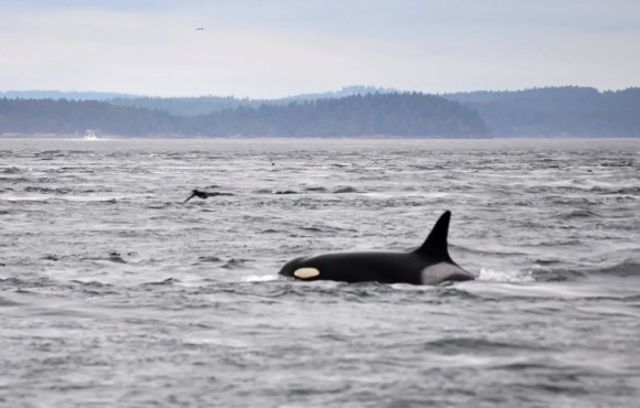 killer whale_e