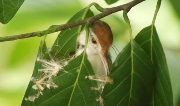 お裁縫上手な鳥、くちばしを針代わりに蜘蛛の糸や植物の繊維で葉を縫い巣を作るオナガサイホウチョウ