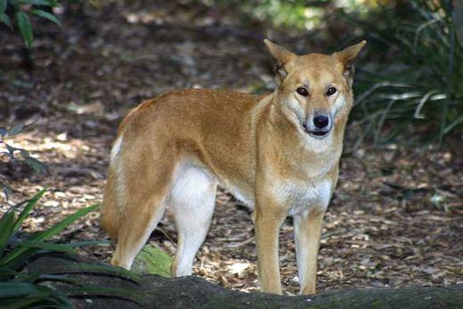 wildlife_mammals_dingo