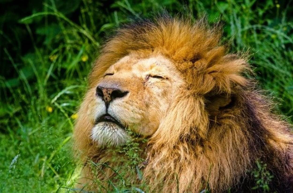 african-lion-951778_640_e