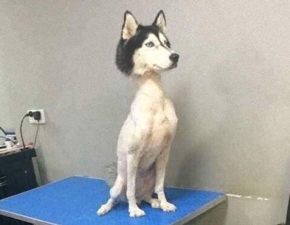毛を駆られたハスキー犬