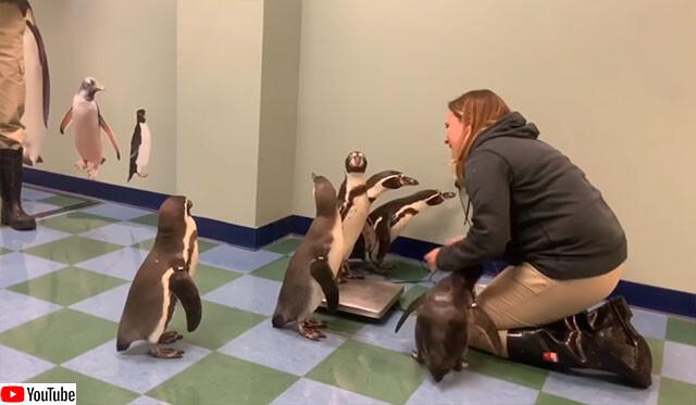 面白ペンギンたちの体重測定
