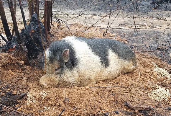 山火事発生で緊急避難。連れていくことのできなかったペットのブタが焼け跡でうずくまっていたところを無事保護(アメリカ)