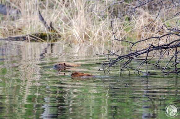 beaver3_e