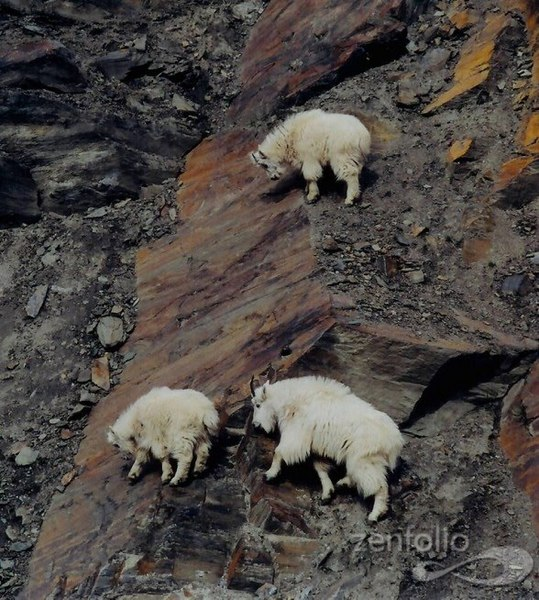 crazy_goats_25
