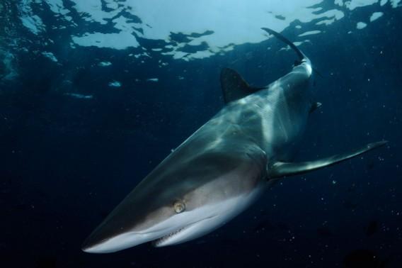 shark17_e