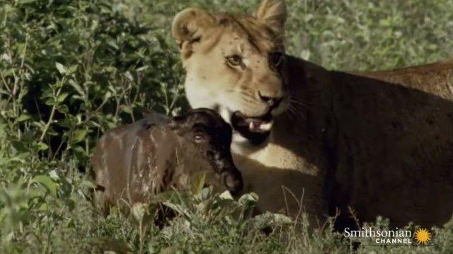 「ママ?ママ?」狩ってはみたけれど……。自分に甘えてくるヌーの赤ちゃんを守るメスライオン