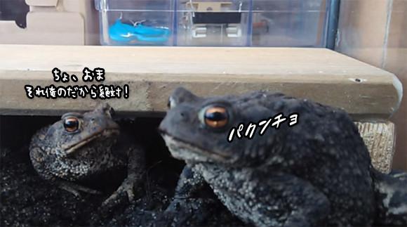 餌を食べる順番でもめにもめるカエルのディナーショーの顔芸が面白い(餌ワーム注意)