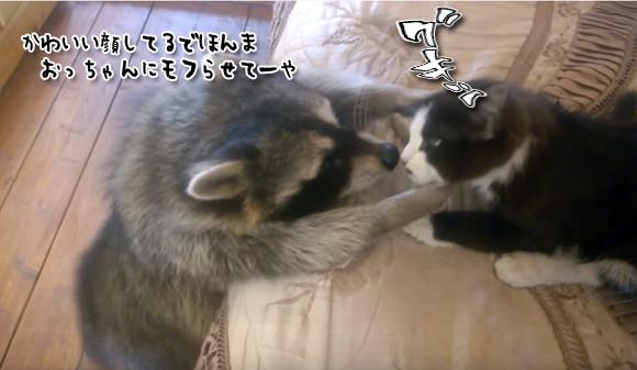 猫のかわいさにはもう辛抱たまらんのじゃ。サワサワしまくるアライグマのいる風景