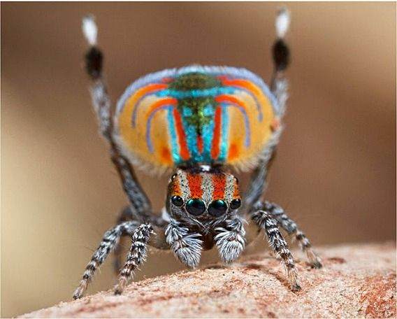 Peacock spider 19