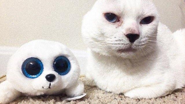 中耳炎で耳を失った猫、その可愛さでネット上で大人気。現在は自身にそっくりな抱き枕もゲットした模様。
