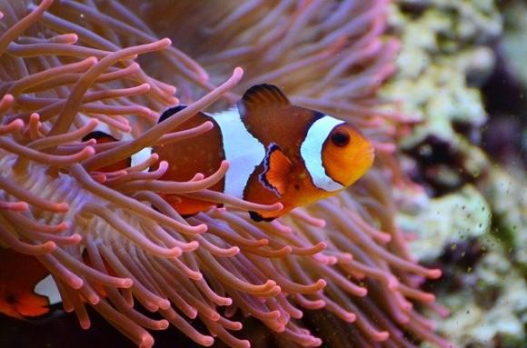 anemone-fish-1496866_640_e