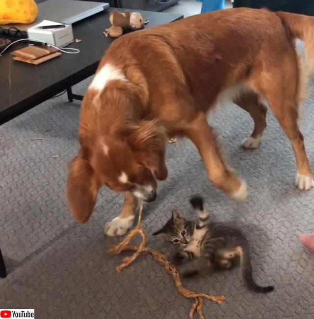 子猫を紐で遊んであげるやさしい犬
