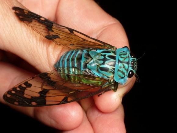 うわすごブルー!セミ界のレアキャラ、ターコイズブルーに輝く熱帯のセミ