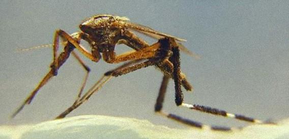 通常比20倍、巨大化した蚊が米フロリダ州を襲う。巨大蚊の大量発生