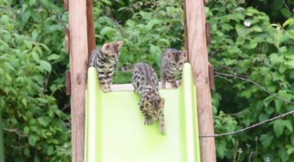 その滑り台は猫の為。ベンガルキャット堪能動画