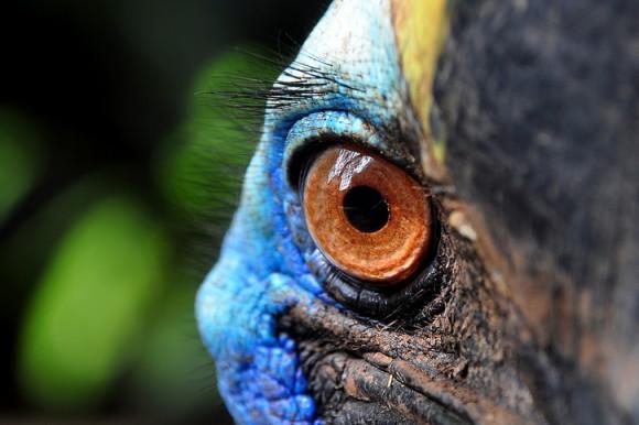 その青い鳥、危険につき。世界一危険な鳥「ヒクイドリ」だが彼らにとっての脅威も人間である。