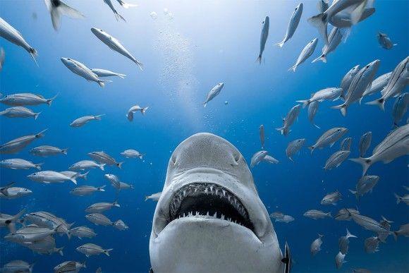 無茶しやがって・・・映画「ジョーズ」のポスターをリアルに再現したくて、本物のイタチザメと超接近して撮影してみた