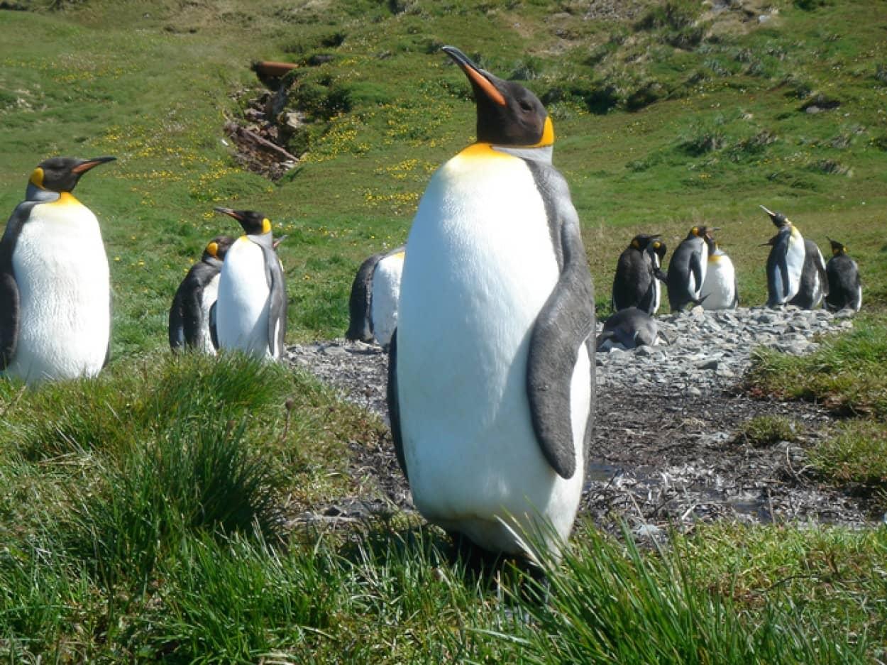 キングペンギンのコロニー