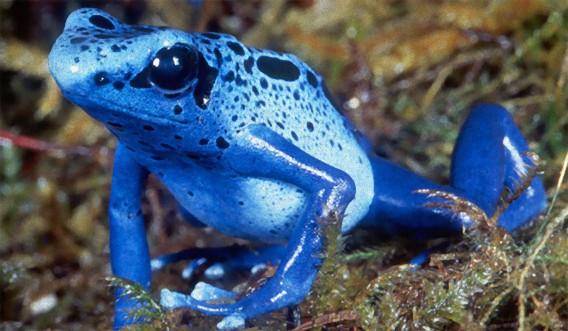 1匹で大人10人を殺せるほどの猛毒を持つ美しいカエル「コバルトヤドクガエル」の繁殖に成功