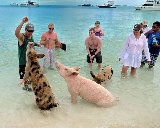 swimming_pigs_12