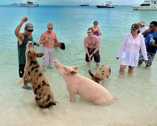 swimming_pigs_12
