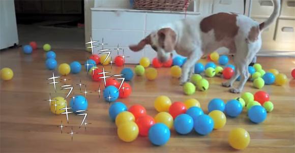 誕生日だったので、ボールの大好きな犬に100個のボールをプレゼントしてみた。