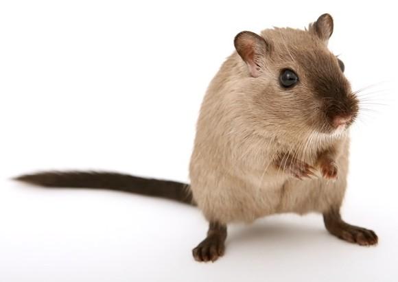 ネズミの歌が聞こえてくるよ。科学者たちがネズミの歌を聴く新たな方法を開発(オーストリア研究)