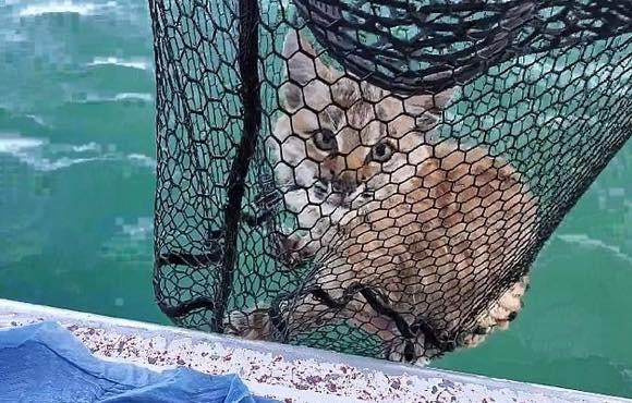 釣りにいったら湖の中にネコが!?水中から網で救助されたボブキャット(アメリカ)