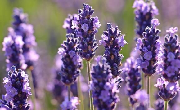 lavender-2426376_640_e