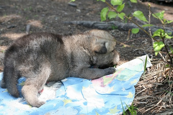 adoptingwolf001-4