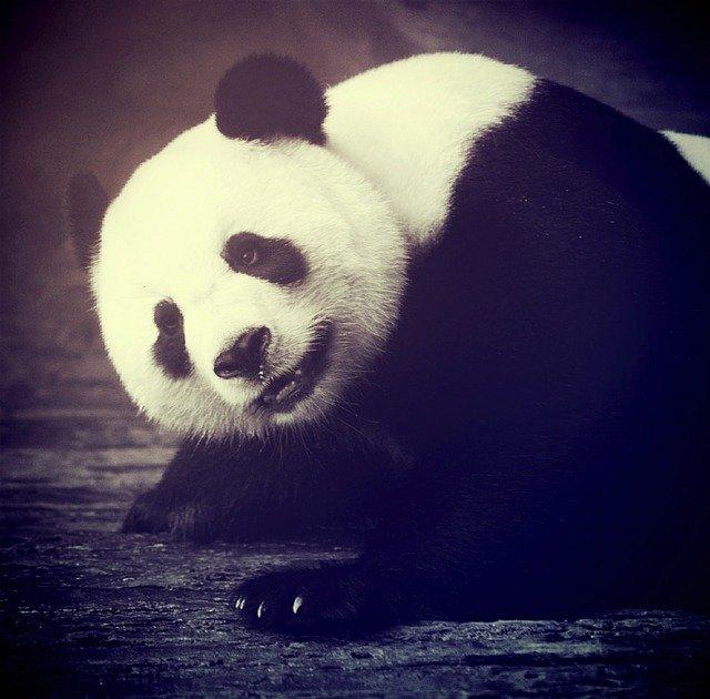 panda-bear-1551814_640