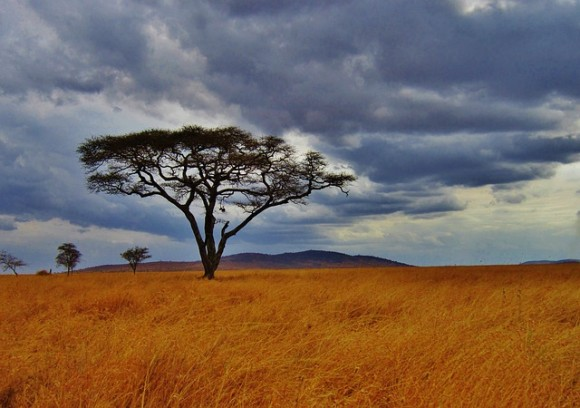 acacia-tree-277352_640_e
