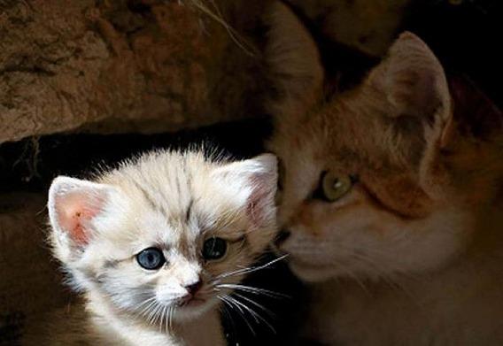 sand_cat_kitten_02
