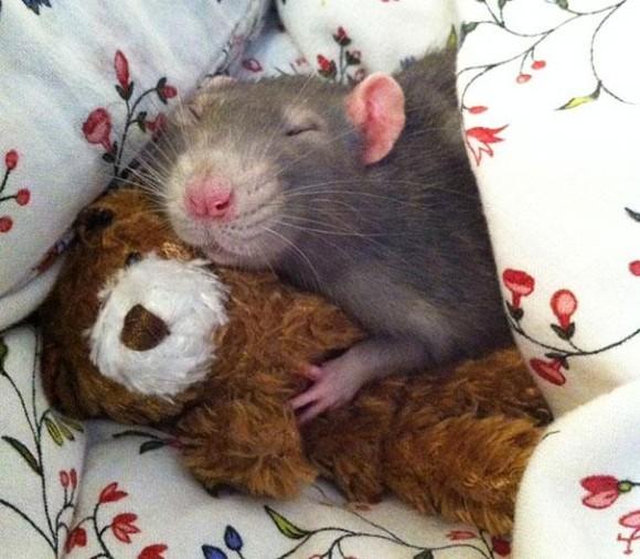 rats-with-teddy-bears-3_e