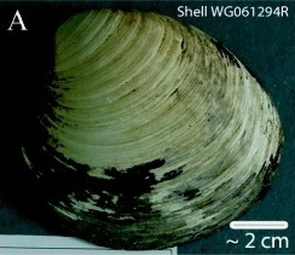 Ming_clam_shell_e