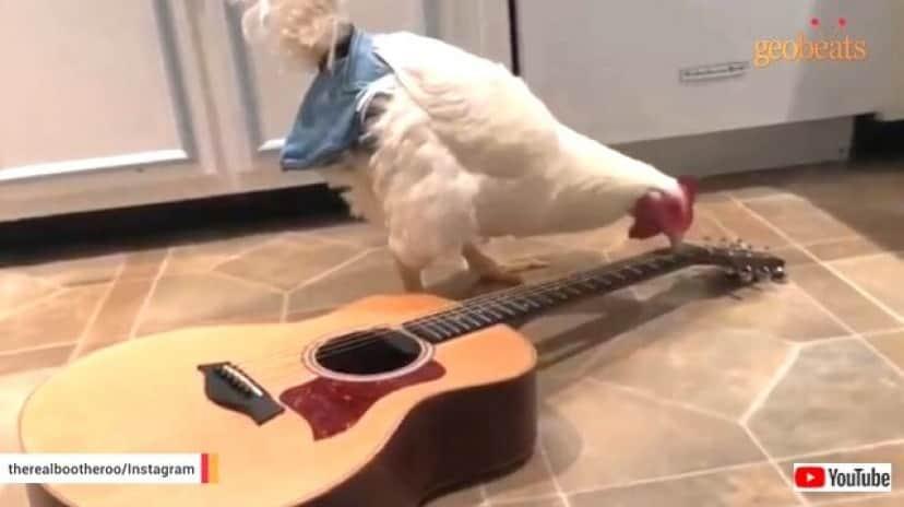 chicken7_640