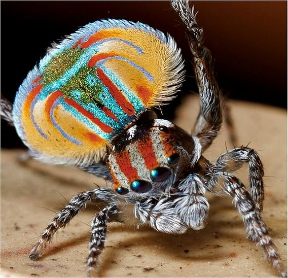 Peacock spider 5