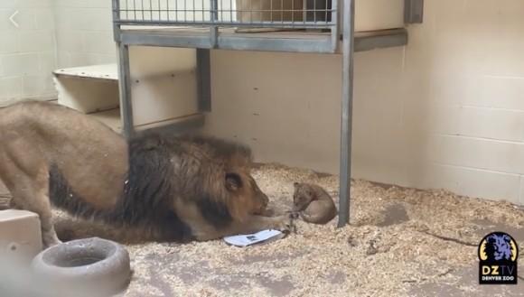 動物園で生まれた赤ちゃんライオン、はじめて父親とご対面。父親は興味津々(アメリカ)