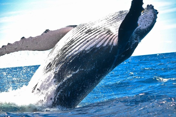 いったいなぜ?クジラは現世で世界最大の動物となったのか、その謎と歴史に迫る。