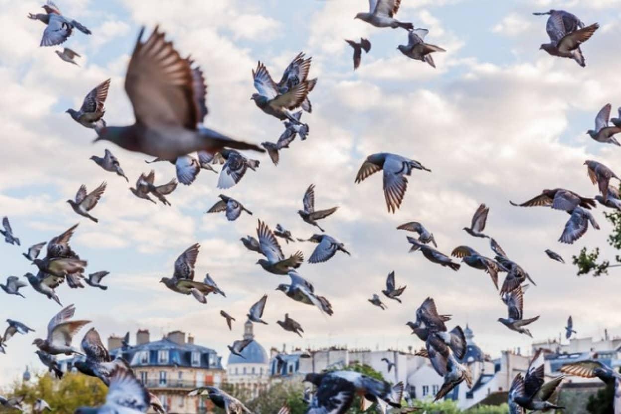 鳩レースに出場した鳩の大量失踪の謎