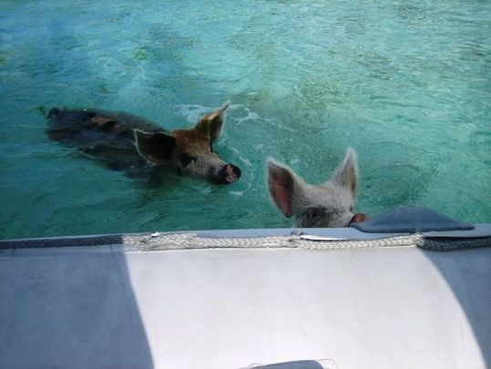 swimming_pigs_13