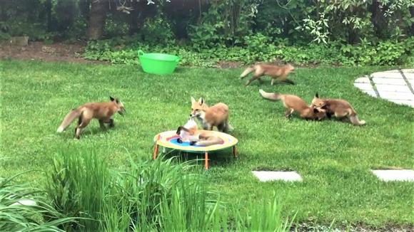 きゃっきゃうふふがすぎる!裏庭でキツネの大家族が遊んでいた件(アメリカ)