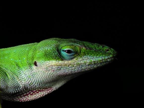 異常気象が数か月でトカゲを急速に進化させた