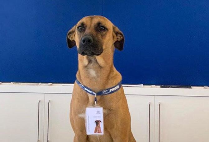 自動車ディーラーに足しげく通い続けた野良犬、店に引き取られマスコット犬に(ブラジル)
