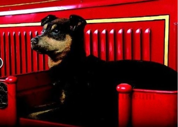 炎の中から2匹の子猫を助け出した勇敢な消防犬、ニップの物語(アメリカ)