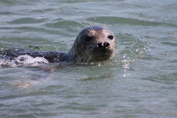 gray-seal-3930790_640_e