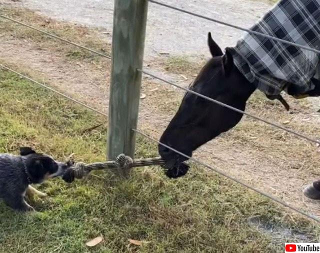 馬やさしい。犬と一緒に紐を使って綱引き遊び